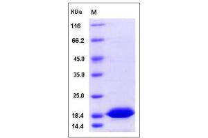 Image no. 1 for Thioredoxin-Like 4B (TXNL4B) (AA 1-149) protein (His tag) (ABIN2005750)