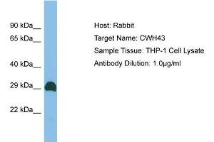 Western Blotting (WB) image for anti-Cell Wall Biogenesis 43 C-Terminal Homolog (S. Cerevisiae) (CWH43) (C-Term) antibody (ABIN2783967)