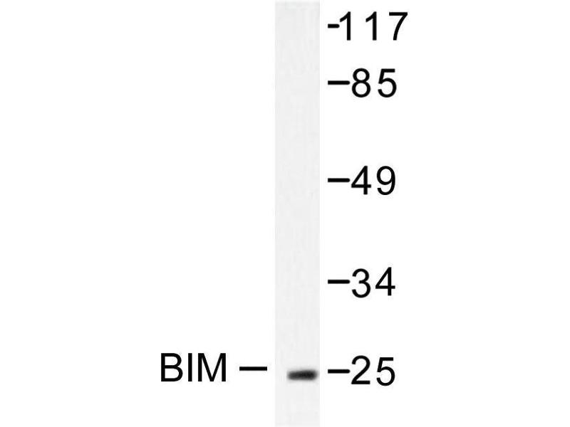 image for anti-BCL2-Like 11 (Apoptosis Facilitator) (BCL2L11) antibody (ABIN265330)