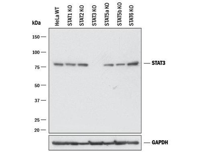 Western Blotting (WB) image for anti-Signal Transducer and Activator of Transcription 3 (Acute-Phase Response Factor) (STAT3) (AA 1-175) antibody (ABIN4898974)