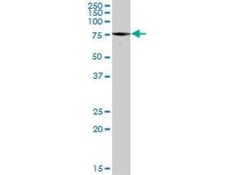 Western Blotting (WB) image for anti-Paxillin (PXN) (AA 1-262) antibody (ABIN519564)