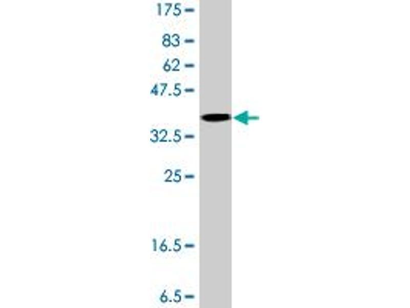 anti-eEF1A1 Antikörper (AA 156-255)   Produkt Nr  ABIN1327605