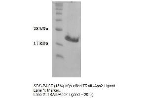 Image no. 1 for Tumor Necrosis Factor (Ligand) Superfamily, Member 10 (TNFSF10) (Active) protein (ABIN413839)