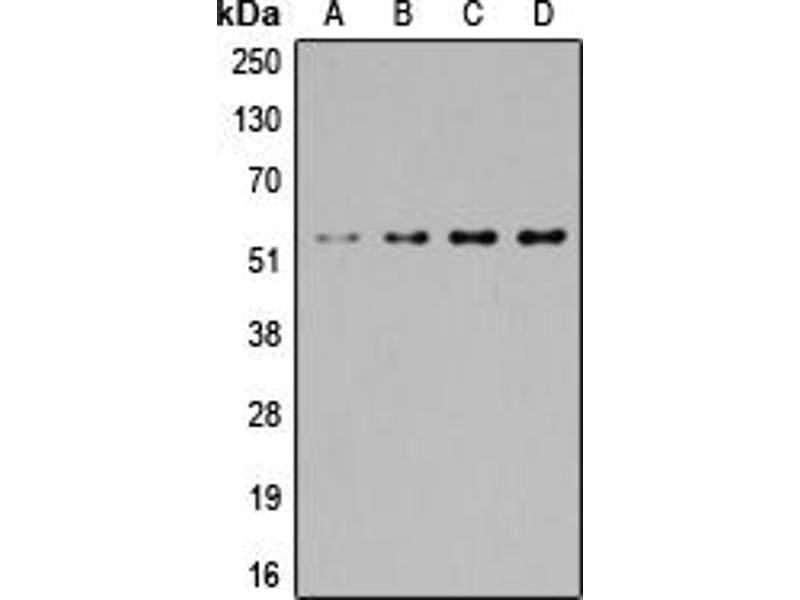 Image no. 2 for anti-SGK1/2 (Center) antibody (ABIN2707038)