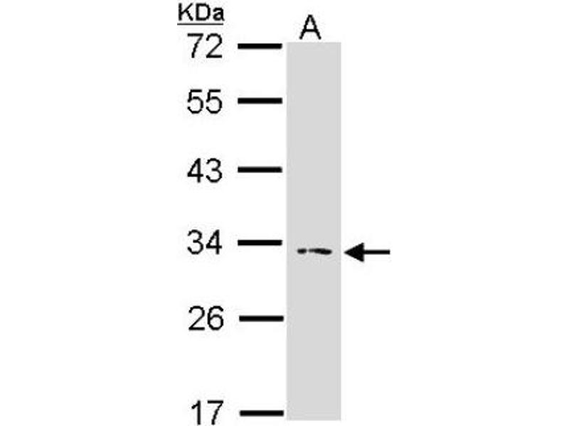 Western Blotting (WB) image for anti-IL1A antibody (Interleukin 1 alpha) (Center) (ABIN4324352)