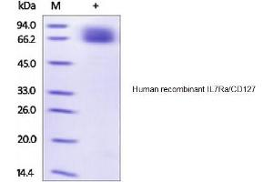 Image no. 1 for Interleukin 7 Receptor (IL7R) (Active) protein (Fc Tag) (ABIN1981599)