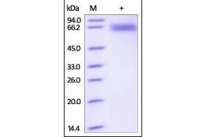 Image no. 1 for CD72 Molecule (CD72) (AA 117-359) protein (Fc Tag) (ABIN2180833)