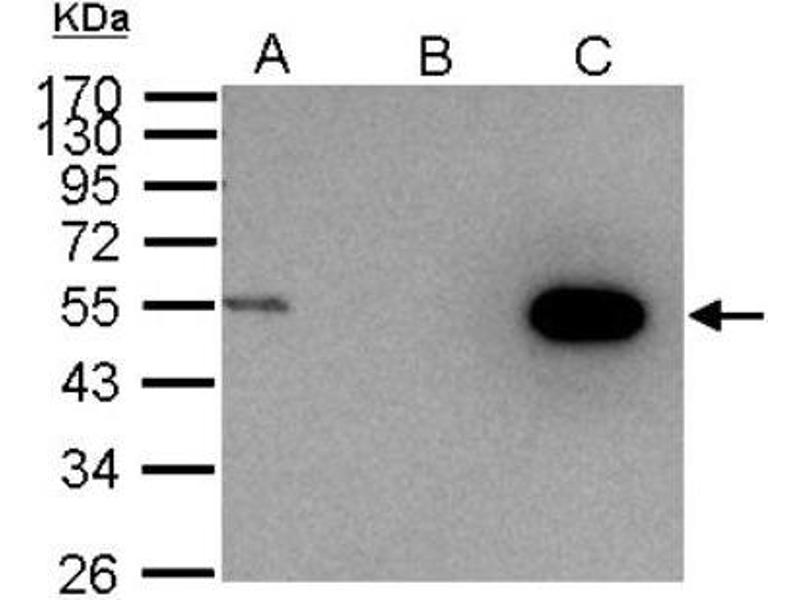 Immunoprecipitation (IP) image for anti-Cyclin A2 (CCNA2) (Center) antibody (ABIN441337)