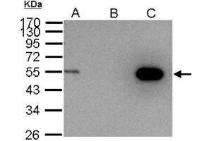 Immunoprecipitation (IP) image for anti-Cyclin A antibody (Cyclin A2) (ABIN441337)