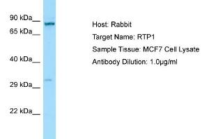 Image no. 1 for anti-Receptor (Chemosensory) Transporter Protein 1 (RTP1) (C-Term) antibody (ABIN2790163)