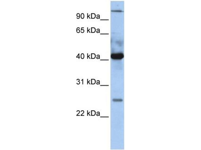 Western Blotting (WB) image for anti-C-JUN antibody (Jun Proto-Oncogene) (N-Term) (ABIN2792535)