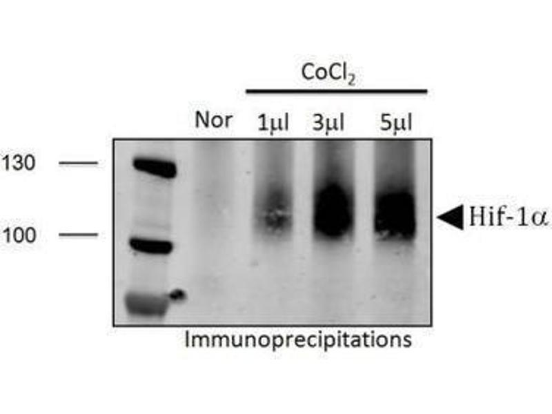 Immunoprecipitation (IP) image for anti-Hypoxia Inducible Factor 1, alpha Subunit (Basic Helix-Loop-Helix Transcription Factor) (HIF1A) (Internal Region) antibody (ABIN151066)