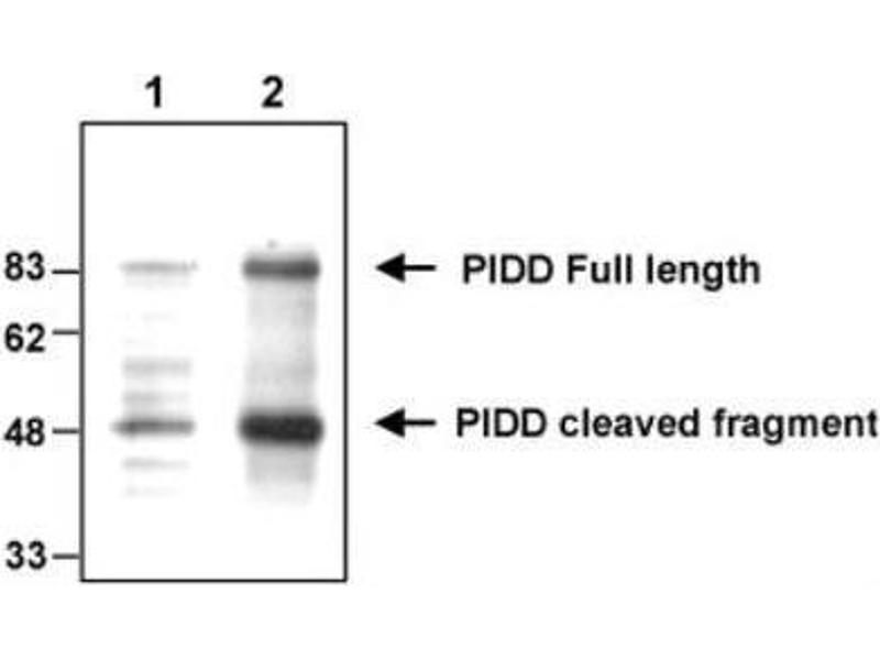 Western Blotting (WB) image for anti-P53-Induced Death Domain Protein (PIDD) (AA 776-910) antibody (ABIN4331451)
