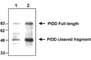 Western Blotting (WB) image for anti-PIDD antibody (P53-Induced Death Domain Protein) (AA 776-910) (ABIN4331451)