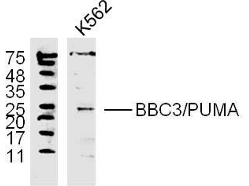Image no. 1 for anti-BCL2 Binding Component 3 (BBC3) (AA 120-170) antibody (ABIN731528)