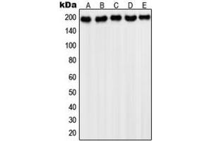 Western Blotting (WB) image for anti-Platelet-Derived Growth Factor Receptor, alpha Polypeptide (PDGFRA) (C-Term) antibody (ABIN2705108)