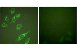 Immunofluorescence (IF) image for anti-tyrosine 3-Monooxygenase/tryptophan 5-Monooxygenase Activation Protein, zeta Polypeptide (YWHAZ) (AA 24-73), (pSer58) antibody (ABIN1531170)
