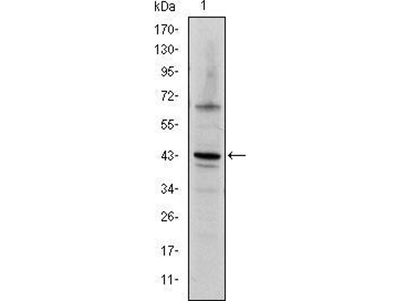 Western Blotting (WB) image for anti-C-JUN antibody (Jun Proto-Oncogene) (ABIN968995)