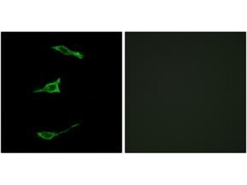 Image no. 2 for anti-Free Fatty Acid Receptor 1 (FFAR1) (AA 185-234) antibody (ABIN2890821)