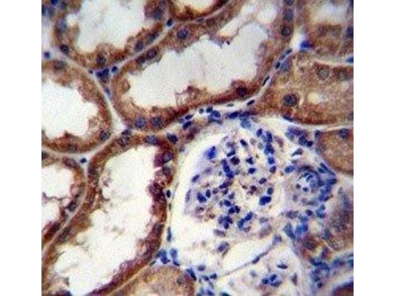 Immunohistochemistry (IHC) image for anti-Wingless-Type MMTV Integration Site Family, Member 16 (WNT16) (AA 236-265) antibody (ABIN3029626)