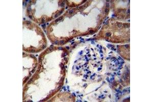 Immunohistochemistry (IHC) image for anti-WNT16 antibody (Wingless-Type MMTV Integration Site Family, Member 16) (AA 236-265) (ABIN3029626)