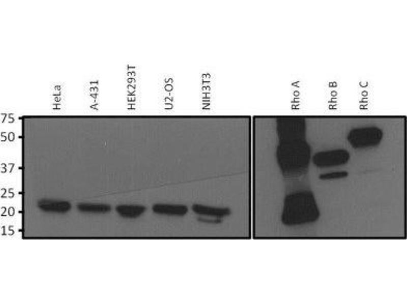 Western Blotting (WB) image for anti-RHOA antibody (Ras Homolog Gene Family, Member A) (ABIN4350390)