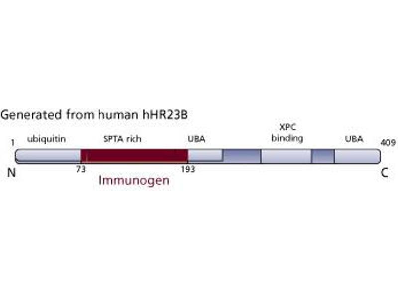 Image no. 3 for anti-RAD23 Homolog B (S. Cerevisiae) (RAD23B) (AA 73-193) antibody (ABIN968320)