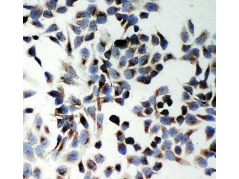 Immunocytochemistry (ICC) image for anti-KH Domain Containing, RNA Binding, Signal Transduction Associated 1 (KHDRBS1) (N-Term) antibody (ABIN3031544)
