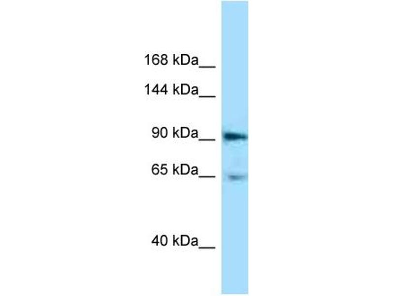 Western Blotting (WB) image for anti-EPH Receptor A4 antibody (EPHA4) (C-Term) (ABIN2788864)