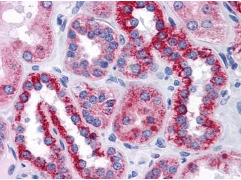 Immunohistochemistry (IHC) image for anti-BAI1-Associated Protein 2-Like-1 (BAIAP2L1) (AA 398-512) antibody (ABIN614723)