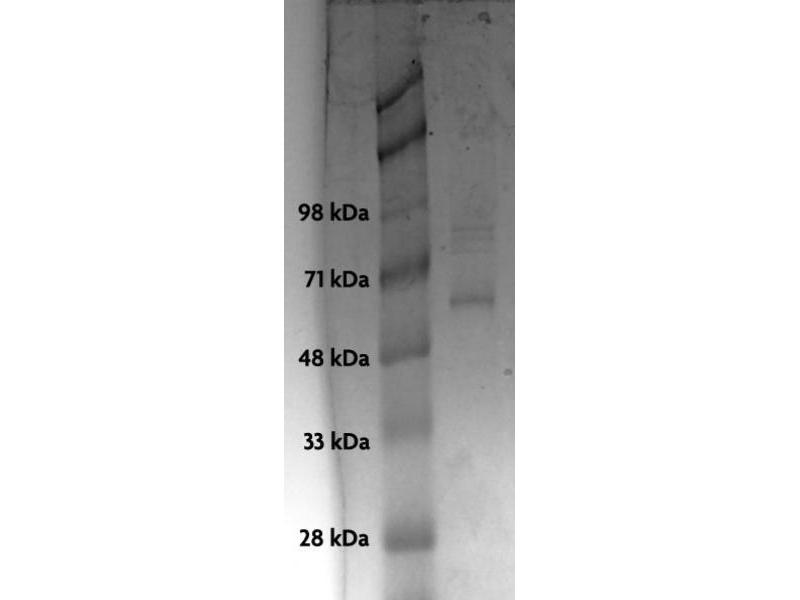 Western Blotting (WB) image for Tumor Protein P53 (TP53) (Active) protein (His tag) (ABIN2669713)