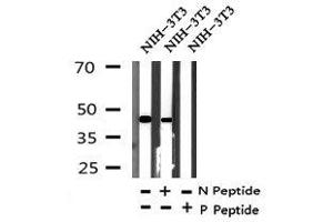 Image no. 4 for anti-Mitogen-Activated Protein Kinase-Activated Protein Kinase 2 (MAPKAPK2) (pThr320), (pThr334) antibody (ABIN6270029)