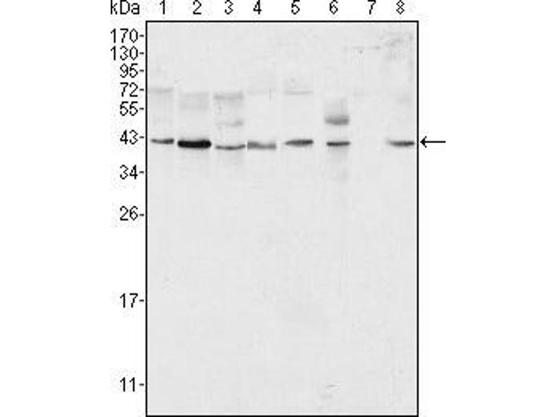 Western Blotting (WB) image for anti-ERK2 antibody (Mitogen-Activated Protein Kinase 1) (ABIN1724654)