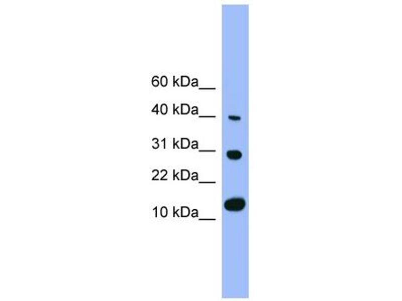 Western Blotting (WB) image for anti-Bone Morphogenetic Protein 7 (BMP7) (N-Term) antibody (ABIN2779568)
