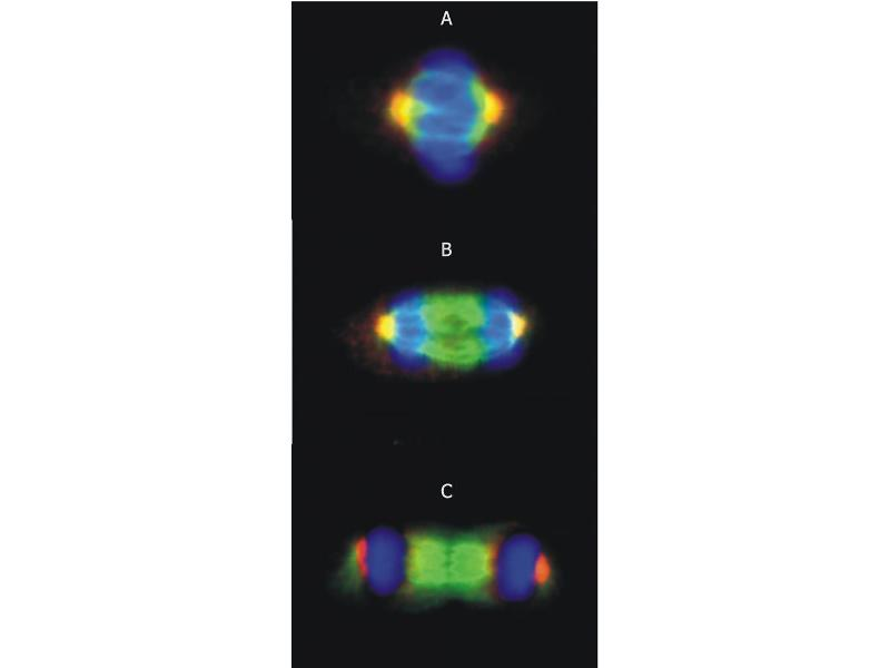 Image no. 3 for anti-gamma-Tubulin 1 (C-Term) antibody (ABIN94313)