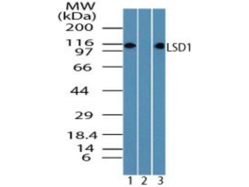 Western Blotting (WB) image for anti-Lysine (K)-Specific Demethylase 1A (KDM1A) antibody (ABIN4331733)