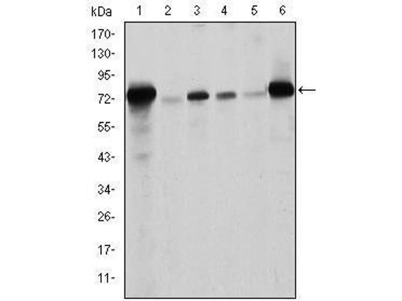 Western Blotting (WB) image for anti-Lamin A/C (LMNA) antibody (ABIN1108015)