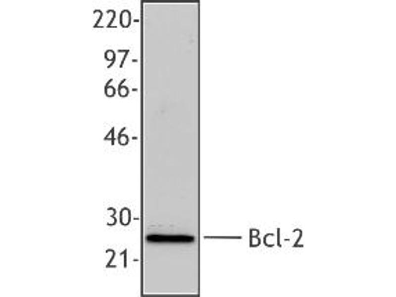 Western Blotting (WB) image for anti-B-Cell CLL/lymphoma 2 (BCL2) (AA 61-76), (N-Term) antibody (ABIN256543)
