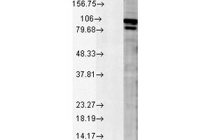 Image no. 5 for anti-Calnexin (CANX) antibody (HRP) (ABIN2486582)