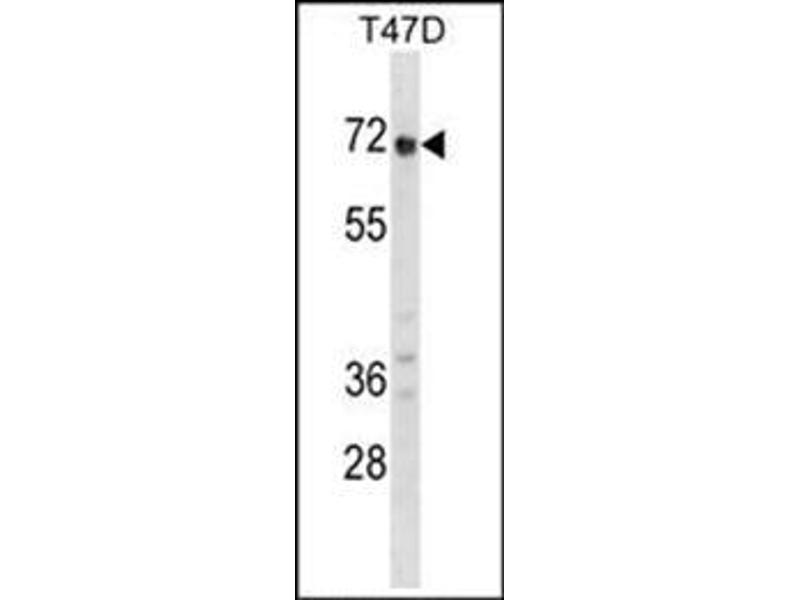 Western Blotting (WB) image for anti-Glypican 2 (GPC2) (AA 136-165), (N-Term) antibody (ABIN952586)