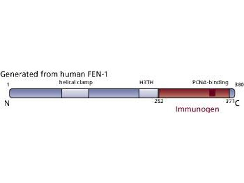 image for anti-Flap Structure-Specific Endonuclease 1 (FEN1) (AA 252-371) antibody (ABIN968459)