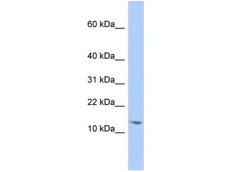 Western Blotting (WB) image for anti-Small Nuclear Ribonucleoprotein D2 Polypeptide 16.5kDa (SNRPD2) (N-Term) antibody (ABIN405337)