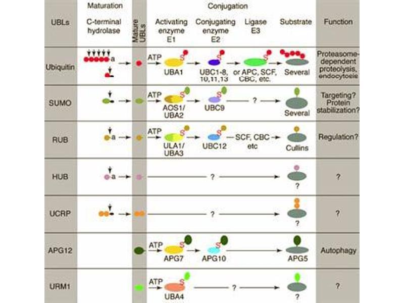 image for anti-Atg8p (ATG8) antibody (ABIN116952)