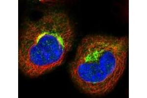 Image no. 2 for anti-Tight Junction Associated Protein 1 (Peripheral) (TJAP1) antibody (ABIN5589542)