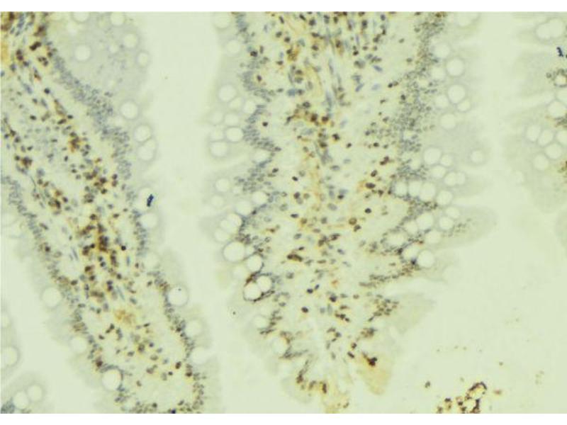 Image no. 1 for anti-Interferon Regulatory Factor 2 (IRF2) antibody (ABIN6274172)