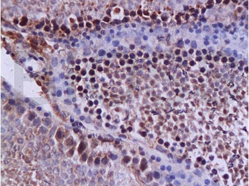 Immunohistochemistry (IHC) image for anti-Caspase 12 (CASP12) (AA 240-290) antibody (ABIN737736)