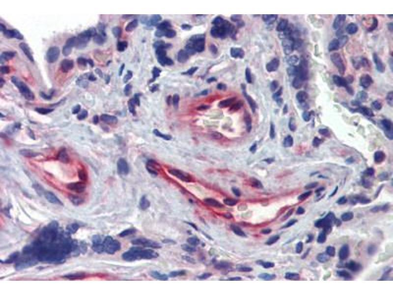 Image no. 2 for anti-Akirin 1 (AKIRIN1) (N-Term) antibody (ABIN462493)