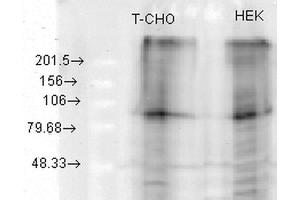 Image no. 2 for anti-Potassium Voltage-Gated Channel, KQT-Like Subfamily, Member 2 (KCNQ2) (AA 1-59) antibody (HRP) (ABIN2482776)