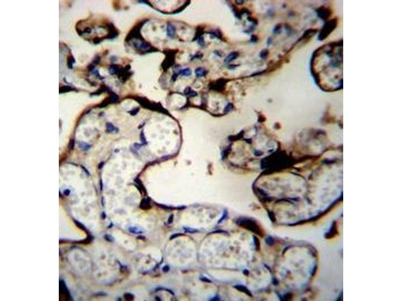 Immunohistochemistry (Paraffin-embedded Sections) (IHC (p)) image for anti-DnaJ (Hsp40) Homolog, Subfamily B, Member 11 (DNAJB11) (AA 62-92), (N-Term) antibody (ABIN951941)