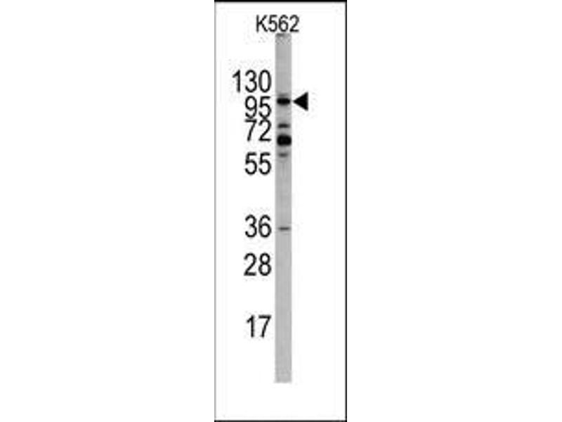 Western Blotting (WB) image for anti-EPH Receptor A10 Antikörper (EPHA10) (N-Term) (ABIN359808)